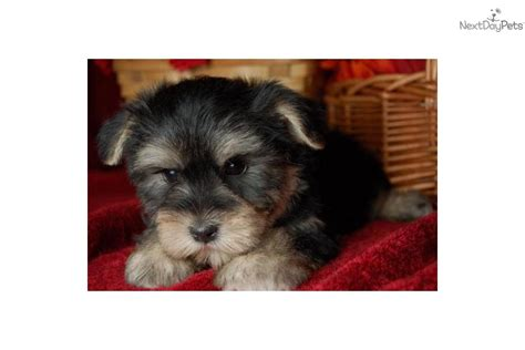 morkie or yorkie poo search results for haircut styles for boy yorkies black hairstyle and haircuts
