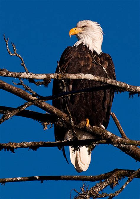 united states of america bird list of 50 state birdes of