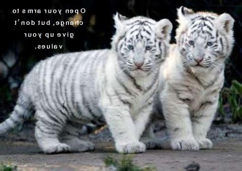 baby white tiger cubs pictures of baby tiger on animal picture society