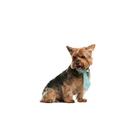 petland ohio puppies norwich terrier puppies ohio petland carriage place