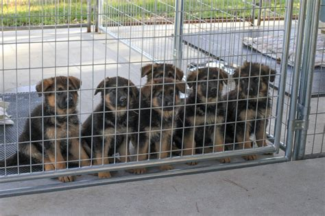 puppies for sale in florida shepherdhaus net a family owned kennel german shepherd puppies for sale in florida