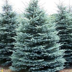 blue trees for sale colorado blue spruce for sale the planting tree