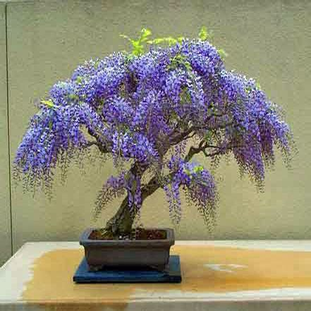 2 Cherry Bonsai Benih Biji Seeds jacaranda mimosifolia bonsai related keywords jacaranda