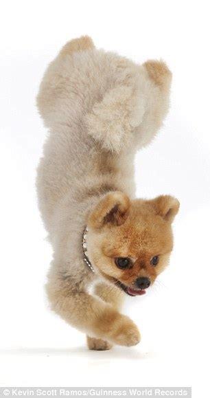 jiff pomeranian for sale pomeranian puppies sale nc breeds picture