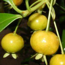 Bibit Cherry Suriname tanaman surinam cherry cherry dewandaru bibitbunga