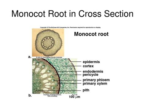 monocot cross section stem ppt the plant body powerpoint presentation id 336354