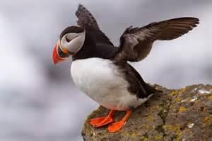 atlantic puffin wild life world