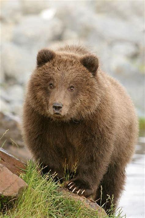 brown bear brown bear 0241137292 brown bear cub flickr photo sharing animals