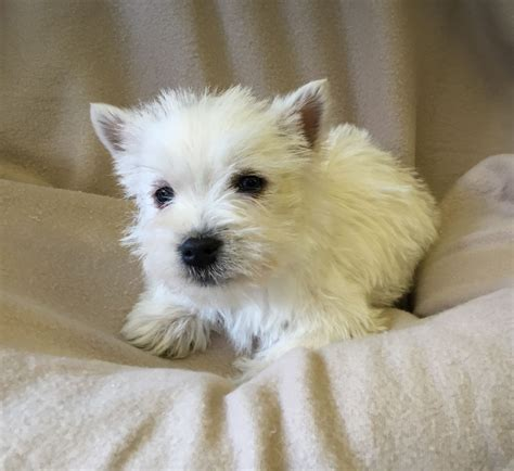 west highland terrier puppies for sale west highland terrier puppies for sale west pets4homes
