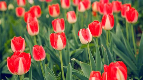 wallpaper tulips spring  flowers