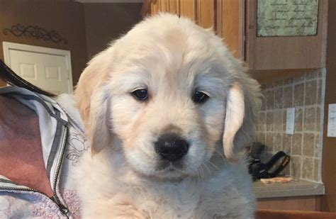 puppies for sale in watertown ny golden retriever kennels ny photo