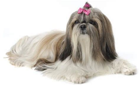 shih tzu breeders miami the shih tzu another china originated breed breeds picture