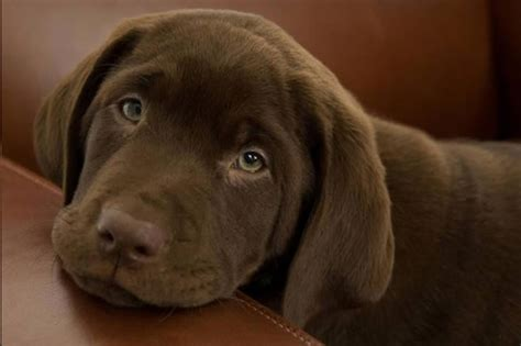 chocolate lab rescue puppies labrador retriever