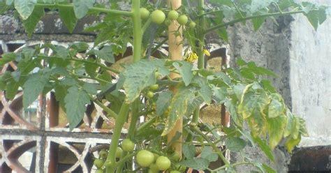 cara bikin alis gede tomat cherry akhirnya dapat juga tomat cherrynya