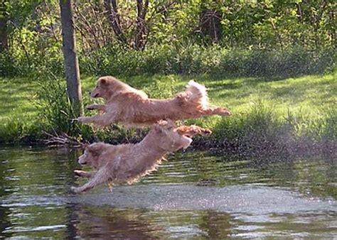 golden retriever breeders in mi golden retriever puppies breeders in michigan dogs in our photo
