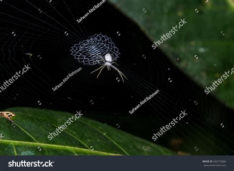 spiders with zig zag pattern on web jumping spider on leaf zigzag web stock photo 562319266