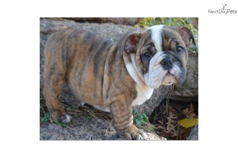 brindle bulldog puppies bulldog puppy for sale near colorado springs colorado 9a83530a d351