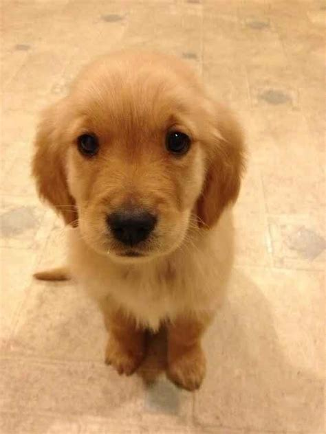 wanted golden retriever puppy community post 60 times golden retrievers were so adorable you wanted to cry