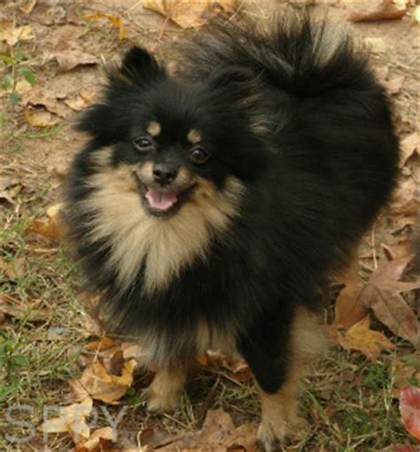 black and brown pomeranian black and brown pomeranian puppies www pixshark images galleries with a bite