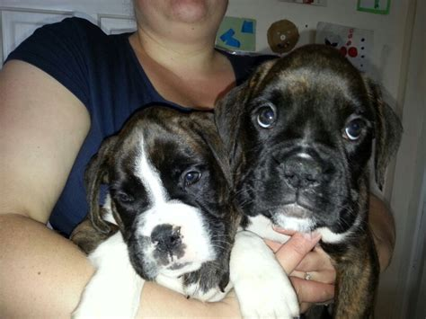 brindle boxer puppies for sale 2 brindle boxer puppies for sale pontefract west pets4homes