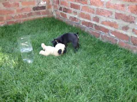 pug negro bebe pug bebe vidoemo emotional unity
