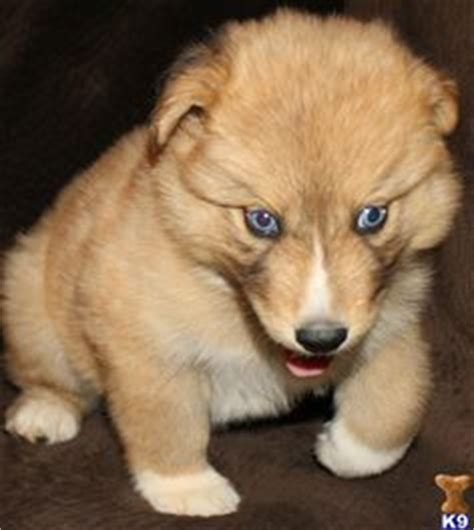 samoyed puppies for sale az 1000 images about dogs for sale in florida on dogs for sale puppies for