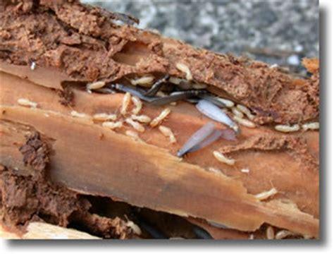 Comment Savoir Si On A Des Termites 1963 by D 233 G 226 Ts Termites