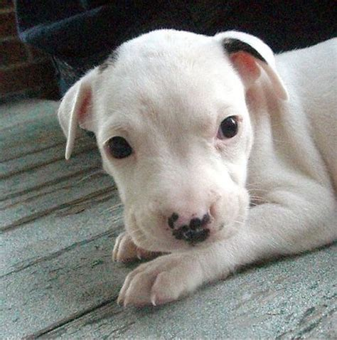 white pitbull puppies white pit bull pup with small black spots jpg 3 comments