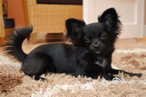 black chihuahua puppies chihuahua breed 187 information pictures more