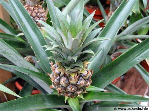 agréable Pot De Couleur Jardin #6: ananas-comosus-fruit-600x450.jpg