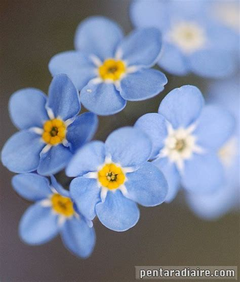 Benih Bunga Forget Me Not Flower Myosotis Alpestris Sea Sky Blue 17 best images about fleur bleue on language