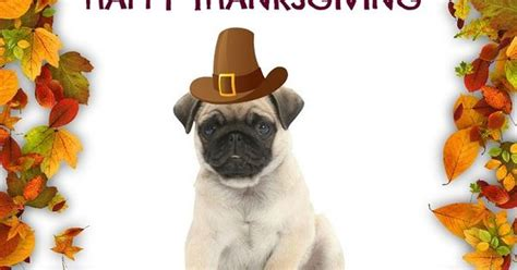 happy thanksgiving pug pug puppy happy thanksgiving quotes pug puppies pug pictures