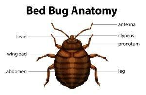 Bed Bug Vs Spider Bite Everything About Bed Bugs Fischer S Pest Control