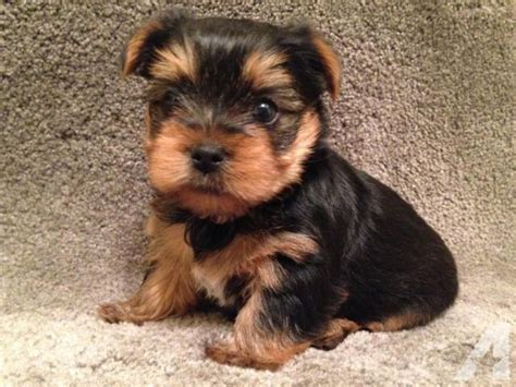 akc yorkie puppies akc terrier yorkie puppies puppy for adoption 10 weeks for sale in