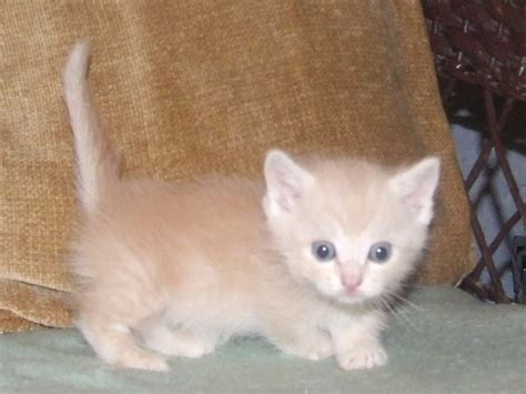 kitten for sale napoleon kittens for sale thenapoleoncat s