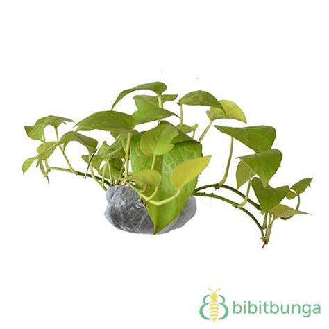 Harga Bibit Sirih Gading tanaman sirih gading kuning neon pothos bibitbunga