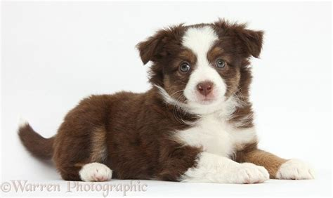 mini american shepherd puppies 17 best images about adorable animals on puppys dalmatians and scottish fold