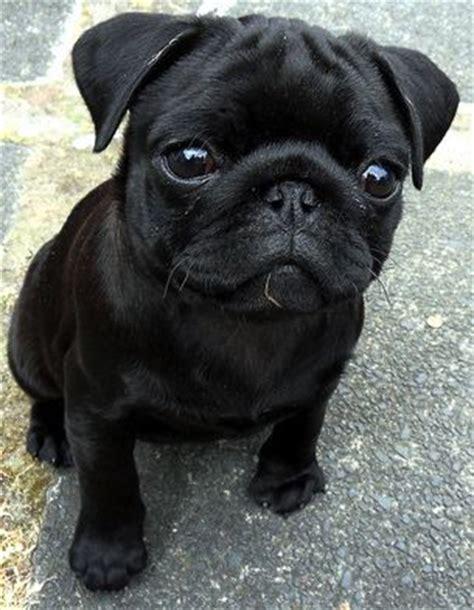 pug negro bebe black pug puppy puppies carlin noir chiots de carlin noir et chiots