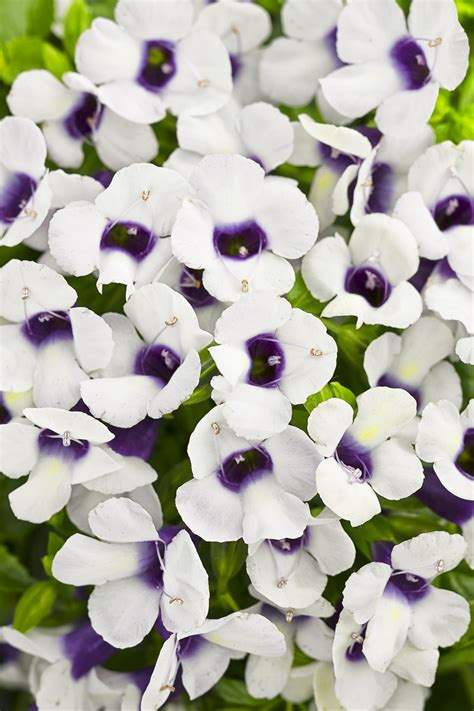 fruit o licious 174 grape o licious wishbone flower torenia