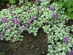 rabbit resistant perennial flowers