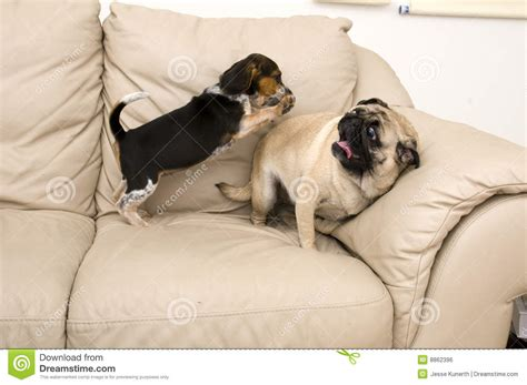 beagle and pug beagle jumping on pug royalty free stock image image 8862396