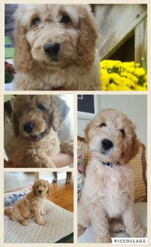 mini goldendoodle new york loyalcompanionpups goldendoodle breeder in congers new york