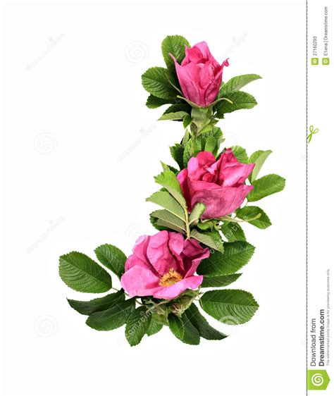 wild rose dog rose stock image image of floral leaf