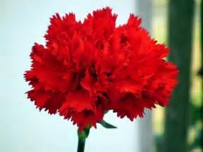 Carnations carnation flowers 171 wallpaper tadka