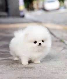how much are teacup pomeranians teacup pomeranians 101 and obedience