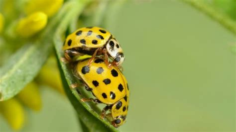 where to find ladybugs in your backyard where to find ladybugs in your backyard 28 images