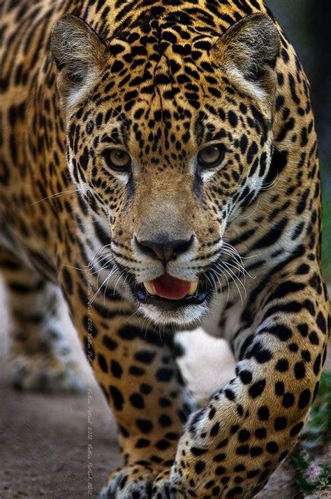 el jaguar panthera onca mascotas taringa m 225 s de 1000 ideas sobre jaguar animal en pinterest