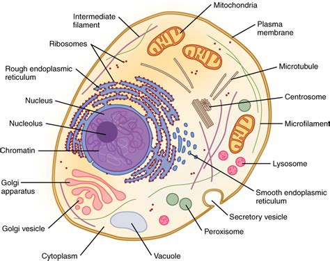 diagram of a section of a cell membrane human cell diagram parts pictures structure and