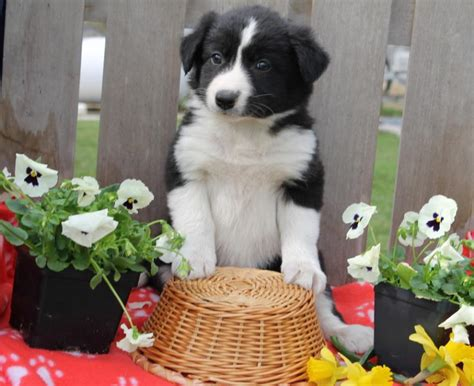 border collie puppies for sale in nj border collie puppies for sale oregon breeds picture