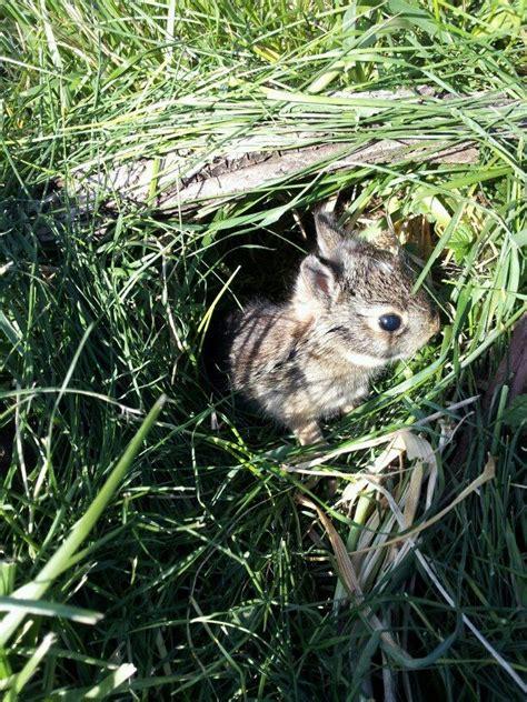 bunny in my backyard rabbit nest in my back yard animal pics pinterest